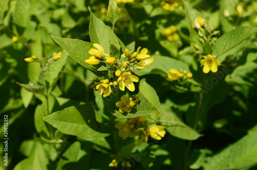 Yellow Loosestrife Tall Plant With Bright Yellow Flowers With Orange