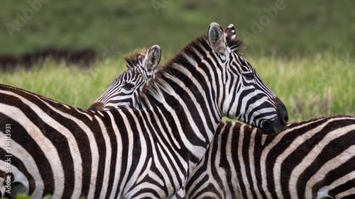 Poster Zebra Back to Back Zebras