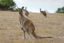 Western Grey Kangaroo, Macropu...