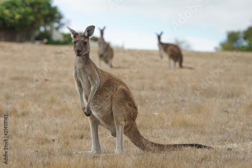 Western Grey Kangaroo, Macropus fuliginosus, photo was taken in Western Australia