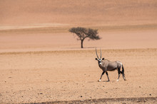 Lone Oryx And Lone Camelthorn Tree