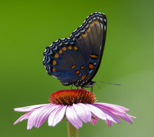 Red-Spotted Purple Admiral2