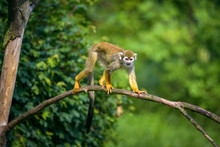 Common Squirrel Monkey Walking...