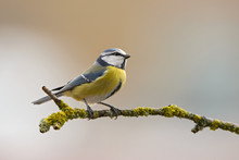 Blue Tit - Parus Caeruleus, Beautiful Colored Perching Bird From European Forests And Gardens.
