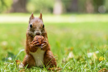 Cute Hungry Squirrel - Lazienki Park Of Warsaw