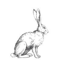 Vector Vintage Illustration Of Sitting Hare Isolated On White. Hand Drawn Rabbit In Engraving Style. Animal Sketch