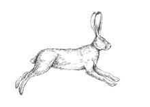 Vector Vintage Illustration Of Running Hare Isolated On White. Hand Drawn Jumping Rabbit In Engraving Style
