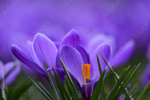 Low angle view of purple crocuses