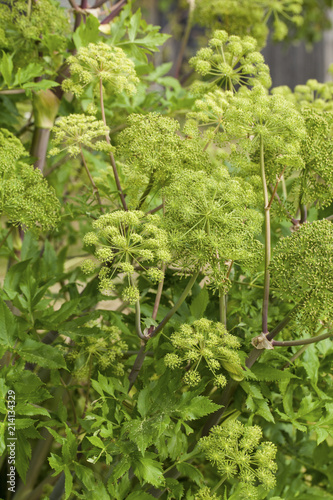 Angelica Archangelica - the plant used in culinary, Angelica oil in aromatherapy, pot - pouri Fototapet