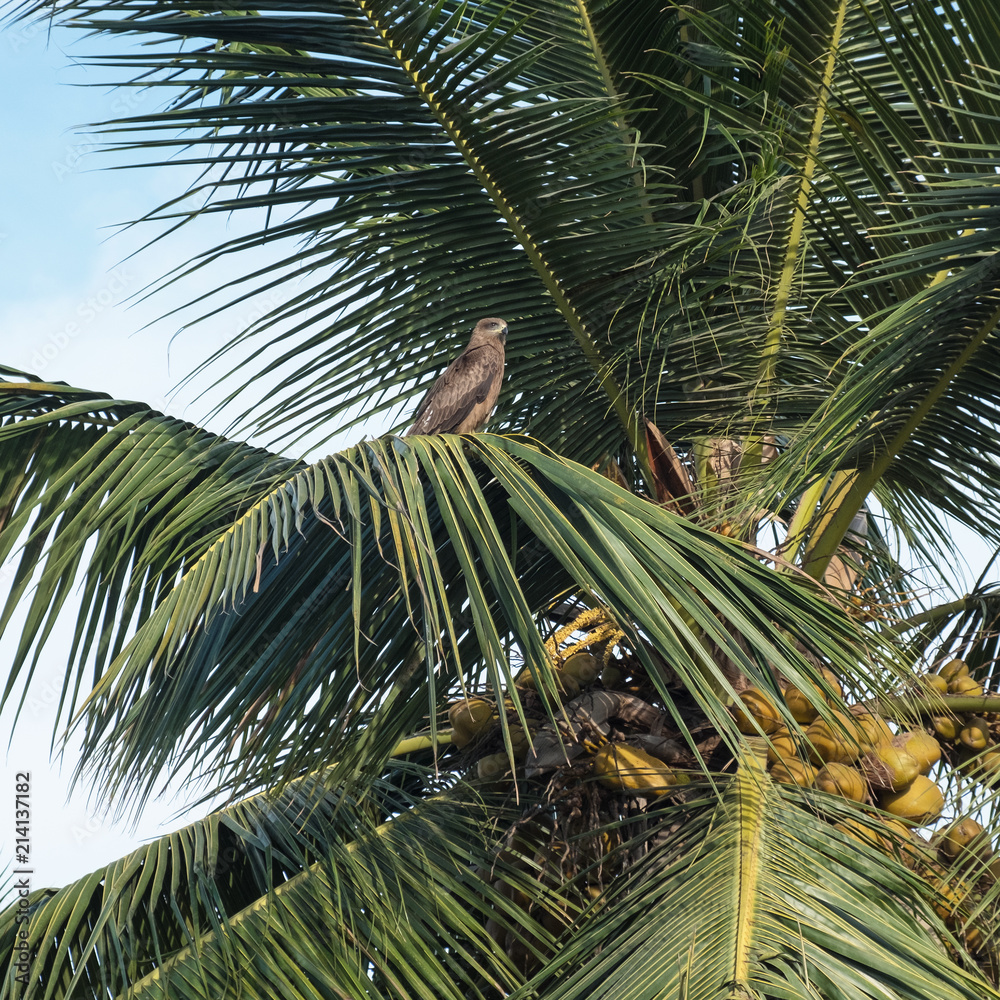 Photo  Bird of prey perched at the top of a coconut tree in Tamil Nadu, India