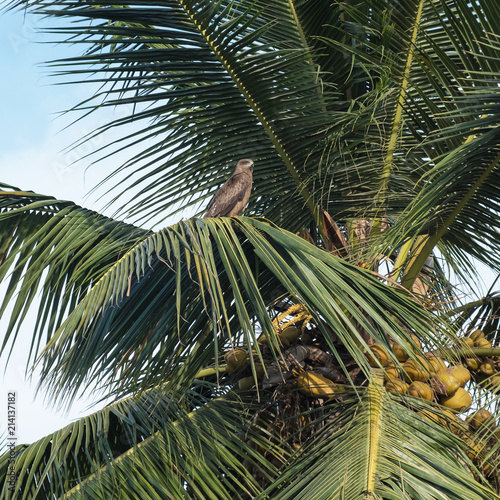 Bird of prey perched at the top of a coconut tree in Tamil Nadu, India Canvas Print