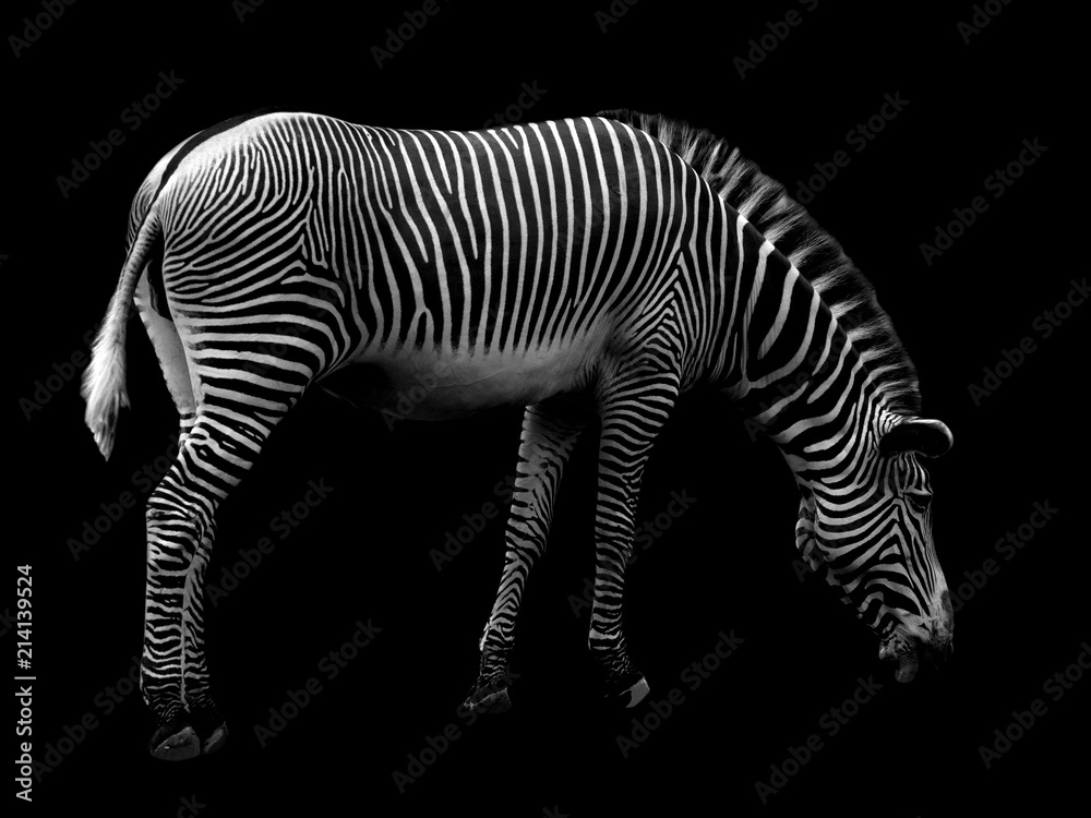 Fototapety, obrazy: Zebra on Black