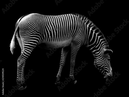 Aluminium Prints Zebra Zebra on Black