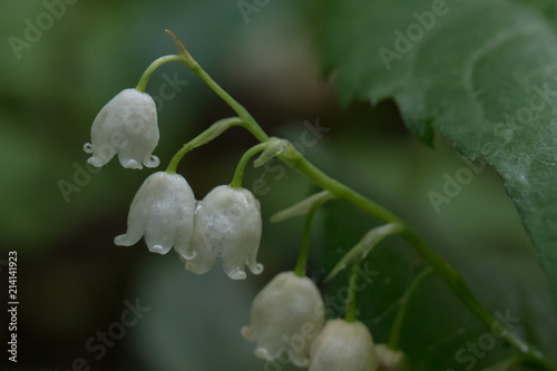 In de dag Lelietje van dalen Lily of the valley wildflower close-up