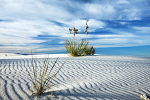 Yucca In The White Sand At Whi...