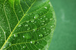 Beautiful green leaf with water drops, closeup
