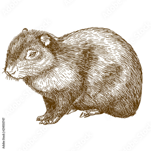 Photo engraving drawing illustration of common agouti or sereque