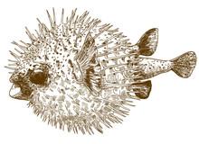 Engraving Drawing Illustration Of Porcupinefish Blowfish