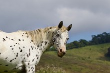Spotted Horse In A Field