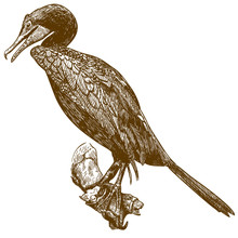 Engraving Drawing Illustration Of Cormorant