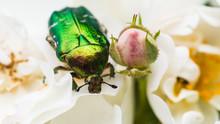 Rose Chafer Beetle