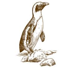 Etching Drawing Illustration Of Humboldt Penguin