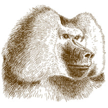 Engraving Drawing Illustration Of Baboon Head