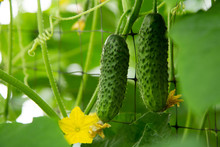 Little Cucumbers Growing On Branches, Beautiful Greenhouse Harvest Concept