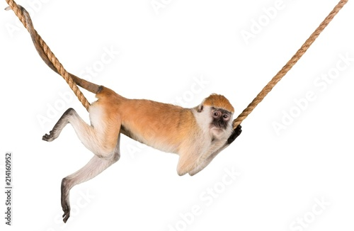 Foto op Aluminium Aap Monkey Hanging On Rope - Isolated