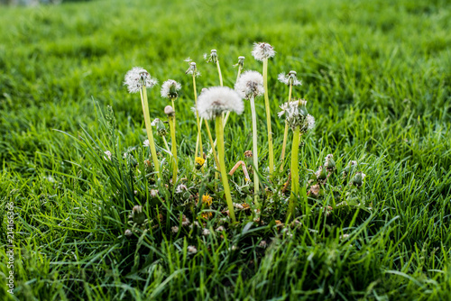 Fototapeta lawn weeds  obraz