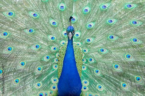 Fotobehang Pauw Peacock in full display