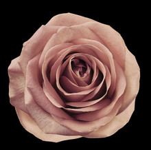 Light Pink Flower Rose  On  Black Isolated Background With Clipping Path.  No Shadows. Closeup.  For Design. Nature.