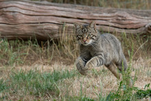 A Scottish Wild Cat On The Run Leaping And Looking Intensely Forward
