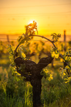 Young Branch With Sunlights In Bordeaux Vineyards