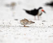 Black Skimmer Chick Practicing Flight