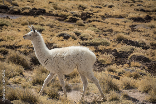 Tuinposter Lama Peru Travel Single llama