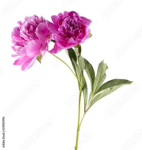 Spoed Foto op Canvas Iris Peony flowers isolated on white background