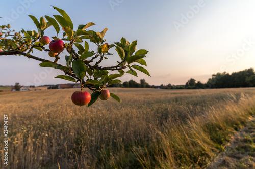Apfelbaum an einem Kornfeld Wallpaper Mural