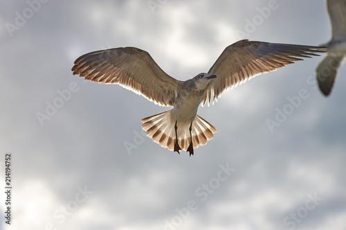 Fototapeta  Albatros spreading his wings flies against the background of rai