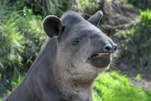 Tapir (Tapirus Pinchaque), Portrait Smiling