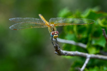 Macro Shots, Beautiful Nature Scene Dragonfly. Showing Of Eyes And Wings Detail. Dragonfly In The Nature Habitat