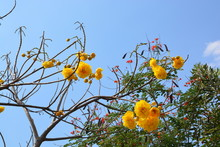 Cochlospermum Regium Flower On Blue Sky . Yellow Cotton Tree