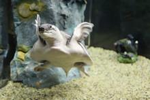 Turtle Swimming In The Aquarium Tank