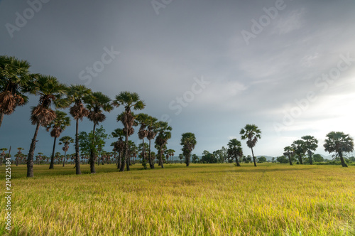 Cadres-photo bureau Campagne Sugar palm tree in a paddy field