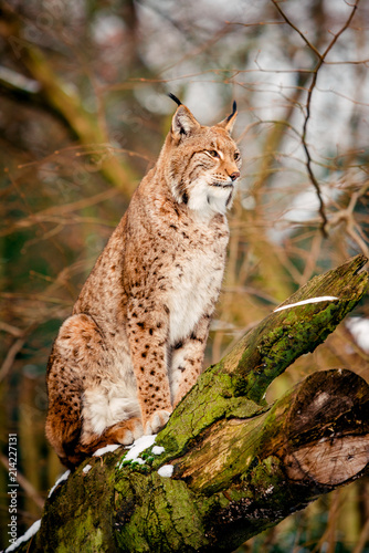 Foto op Plexiglas Lynx Lynx, Eurasian wild cat
