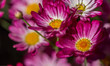 Daisy Flowers in Summer Garden