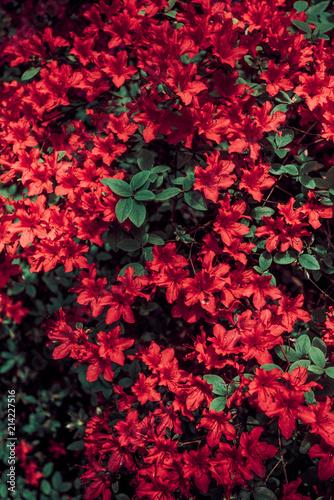 Spoed Foto op Canvas Azalea Red azalea bush in the garden