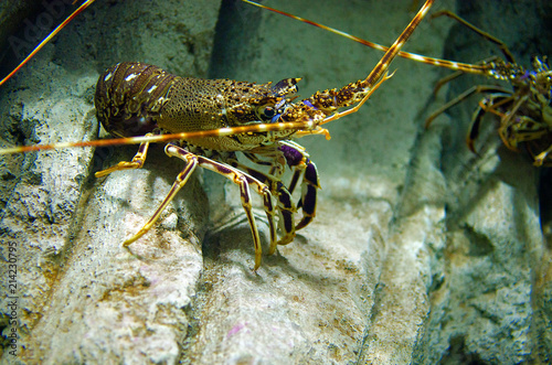 Colourful Tropical Rock lobster underwater