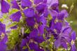 purple clematidne closeup