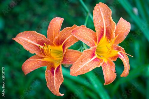 two hemerocallis fulva flowers in the garden, the orange day-lily